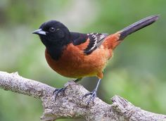 Orchard Oriole - Male - 5/2/16 - Trough Run, Bellaire, Belmont Co, OH