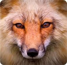 Image result for siting fox