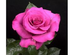 Hot Princess Rose - Hot Pink- Staalduinen Floral Wholesale