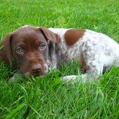German short haired pointer..Soo cute when their puppies