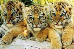 NAT90037 - Tiger Cubs 24x36                                                                                                                                                                                 More