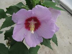 The beautiful flower from the Hibiscus sinosyriacus Melmauve!