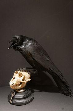1950 Antique European raven standing on a monkey skull.