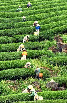 Tea farm Vietnam by Trang Nguyen. Places To Travel, Places To Visit, Beautiful Vietnam, Vietnam History, Tea Culture, North Vietnam, World Photography, Plantation, Vietnam Travel