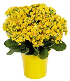 Yellow Kalanchoe Plant - 2013 flowers...should bloom year round indoors