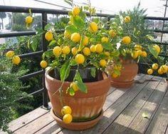 Cultivar y cuidar un limonero en casa.