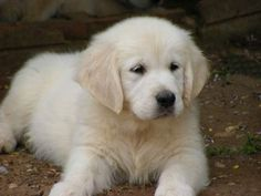 Golden Retriever Pup ~ Classic Look Dogs Golden Retriever, Labrador Retriever, Golden Retrievers, Cute Puppies, Dogs And Puppies, Doggies, Most Popular Dog Breeds, Guide Dog, Search And Rescue