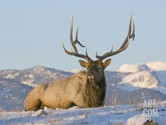 Elk (Cervus Elaphus), Yellowstone, Wyoming, USA Photographic Print by Tom Walker at Art.com
