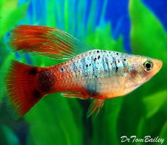 Coral Blue Hifin Platy