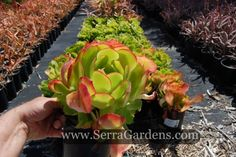 "Aeonium ""Fallbrook Ruby"" (stone aeonium urbicum). This is a large aeonium which can reach 6 feet tall. It begins as an evergreen rosette and slowly develops a single, unbranched stem. https://shop.cacti.com/landscape-succulents/aeonium-urbicum-fallbrook-ruby/  #aeonium_urbicum"