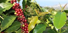 It's one thing to savor a nice hot cup of Kona coffee, but imagine if you could learn exactly where that cup came from.