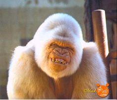 """""""Copito de nieve"""" lo vi muchas veces en mi infancia en el Zoo de Barcelona. Todo un personaje."""