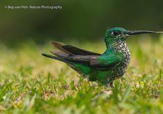 Magnificent cf Rivoli's hummingbird (Eugenes fulgens) (Bosque de Paz