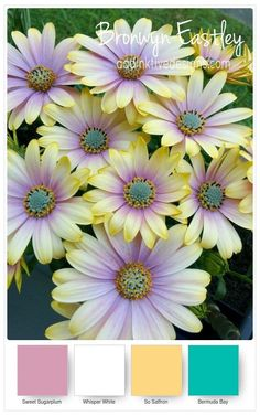 100 Rainbow Color Daisy Seeds Hardy Potted Plants Flower Ornamental DIY Chrysanthemum Flores Bonsai For Garden Sale Sementes Amazing Flowers, My Flower, Flower Pots, Beautiful Flowers, Daisy, Paper Flowers, Wild Flowers, Types Of Flowers, Flower Seeds