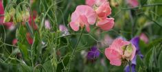 For me, sweet peas are one of the real joys of summer. The sweet pea's frilly flowers have a powerful yet serene fragrance, which gently envelops the garden in its loveliness.