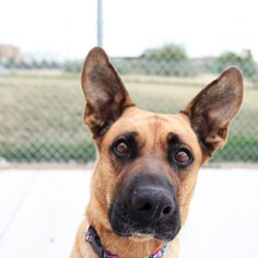 Meet Lellow!  He needs a home! Age: 2 years  Sex: Female  Species: Dog  Breed: German Shepherd X Boxer  Color: Brown & Black