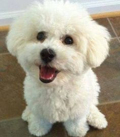 White Puppies, White Dogs, Dogs And Puppies, Maltese Puppies, Bichon Dog, Havanese, Dog In Spanish, Super Cute Puppies, Dog Haircuts