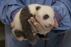 Our lovable giant panda, Xiao Liwu, turns 5 this weekend. To celebrate his big day, here's a look at Mr. Wu's younger years at the San Diego Zoo. Get the latest panda update on Zoonooz:. Baby Zoo, Niedlicher Panda, Cute Panda, Panda Bears, Animals And Pets, Baby Animals, Cute Animals, Animal Tracks, San Diego Zoo