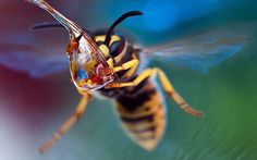 Keen macro photographer Irina Kozorog took this photo of a wasp drinking from a water droplet in a garden in Moscow, RussiaPicture: IRINA KO...