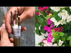 Instructions to transplant multicolored confetti on a tree - YouTube Grafting Plants, Hibiscus Plant, Bougainvillea, My Secret Garden, Go Green, Bonsai, Gardening Tips, Glass Vase, Planter Pots