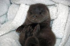 otter pup cub baby ^^