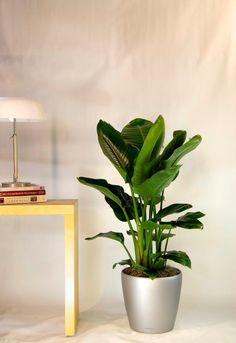 Ficus lyrata planta en maceta ikea plantas de interior - Plantas interior ikea ...