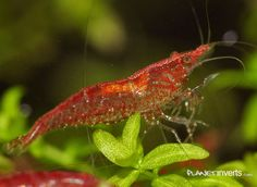 Red Cherry Shrimp Female with yellow saddle Freshwater Aquarium Shrimp, Freshwater Fish, Nano Aquarium, Aquarium Fish, Red Cherry Shrimp, Otters Cute, Indoor Water Garden, Cute Fish, Betta