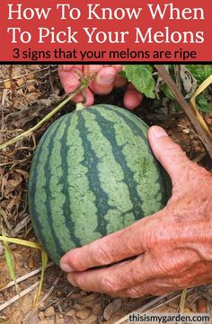 When To Pick Watermelon, How To Grow Watermelon, Garden Growth, Garden, Fruit Garden, Farm Gardens, Growing Vegetables, Veg Garden, Garden Veggies