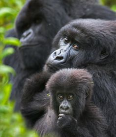 Civil war, poaching, and destruction of forest habitat have devastated the mountain gorillas of Central Africa. Gorillas In The Mist, Forest Habitat, Gorilla Trekking, Mountain Gorilla, Parc National, African Safari, Wildlife Photography, Science Nature, Pet Birds