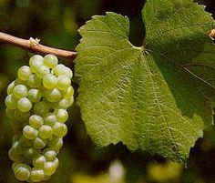 Chardonnay: Pinot Bianco: Colli dell'Etruria centrale, Colline Lucchesi, Cortona, Montescudaio, Parrina, Pomino, Sant'Antimo, Val d'Arbia, Valdichiana.