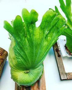 Platycerium sp. Platycerium, Staghorn Fern, Ferns, Garden Sculpture, Gardening, Group, Landscape, Vegetables, Bathroom