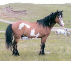 The Nokota {a feral and semi-feral horse breed located in the badlands of southwestern North Dakota}