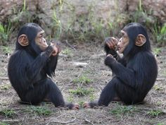 Chimpanzee - Now put it to your mouth like this. Animals And Pets, Baby Animals, Funny Animals, Cute Animals, Cute Monkey, Cool Pets, Fauna, Pet Birds, Animals Beautiful