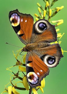 Peacock Butterfly by Marco Fischer