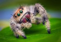 Jumping Spiders are Creeply Cute.