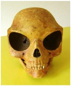 (Ancient Alien Skull Carbon dated at 1200 AD.) The Sealand Skull is about one and a half times larger than a male Homo sapiens cranium. Especially the eye sockets contribute to its size. Its smooth surface reveals that the creature was adapted to cold climate, and its relative eye size that it was either a night creature, lived underground or on a planet orbiting a remote or dim star, probably an orange or red dwarf.