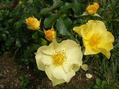 Rosa Berendien