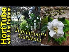 Planting a Super Fragrant Jubilation™ Gardenia - In this video I plant a Jubilation™ Gardenia from the Southern Living Plant Collection in my yard.