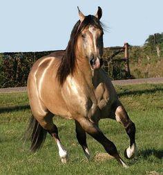 Buckskin horse.