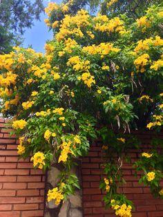 Flores de Asunción -Paraguay