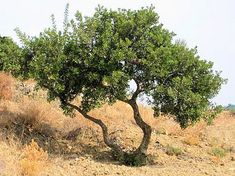 Mastic Tree, Pistacia lentiscus. Also Called: Evergreen Pistache. May be the namesake of the Valley of Bakha Psalm 84:6. A source of aromatic gum.