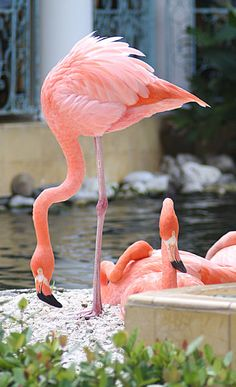 Flamingo: Flamingo in a hotel garden.