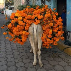 Mexico Puebla # donkey on the way to the market carrying Cempasuchil # flower used to decorate graves today #Iphone
