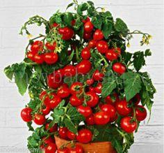 200 + 분재 토마토 씨앗 미니 체리 화분 달콤한 과일 야채 유기 신선한 홈 정원 분재 씨앗