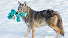 A photographer spotted a coyote as it trotted into her yard and explored a toy left in the snow. What she managed to capture on camera is the beauty of play.