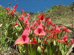 Перу, Мачу - Пикчу, красивая полянка цветущих Masdevallia vetchianа