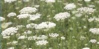 How to Dry Queen Ann's Lace:  This gorgeous flowering plant grows to a height of 4 to 5 feet with large 4- to 6-inch flower heads that resemble lace. These heads, which are actually hundreds of tiny white flowers, make wonderful dried flowers that are well suited for a variety of winter and Christmas crafts.