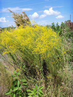 Florida - Native butterfly nectar - Solidago spp. (Goldenrod - 19 native species)