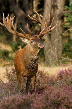 European red deer stag.