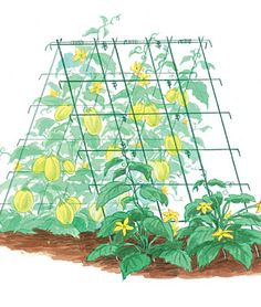 "Squash and Cucumber Supports -Our cucumber and squash pyramid grows healthier plants with better fruits and easier harvesting. The secret is in allowing the plants to grow off the ground, reducing diseases, pests and poor quality fruits. Powder-coated metal frame unfolds and sets up in minutes, folds down at end of season for easy storage. Each frame is 48"" tall and 42"" wide. Can be spread to any width. Home Gardening Supplies at Burpee.com"